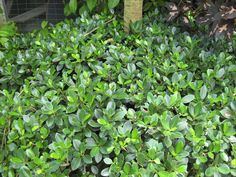 Ficus microcarpa (Green Island Ficus) - Richard Lyons Nursery, Inc. Ficus Microcarpa, Plant Species, Plant Design, Tropical, Nursery, Island, Flowers, Plants, Gardening