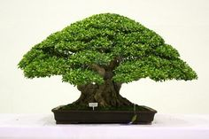 Picture of Banyan or ficus bonsai tree . stock photo, images and stock photography. Ficus Bonsai Tree, Bonsai Tree Types, Indoor Bonsai, Ficus Microcarpa, Dwarf Plants, Tree Leaves, Small Trees, Tree Designs, Garden Projects