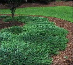 Blue Rug Juniper Ground Cover | Picture of Bar Harbor Juniper