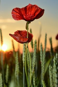 Wild poppies on 500px by robertchoma☀ NIKON D7000-f/8-1/320s-66mm-iso100, 2652✱4004px-rating:85.9