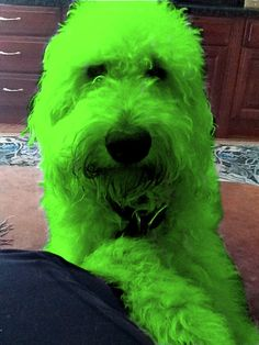 Harry Howard Doodle the Labradoodle is Ready for Saint Patrick's Day!