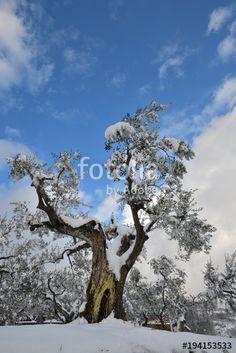 Pianta di olivo sotto la neve