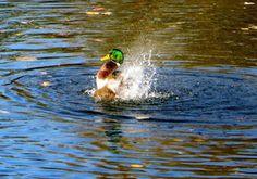Nun gibt es auch eine kleine Reportage in meinem Blog über meine Entenrunden: http://marathomy.blogspot.de/2015/12/meine-entenrunden.html