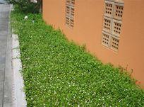 リッピア(ヒメイワダレソウ)でお庭や路肩をガーデニング| あわじ花マットの販売