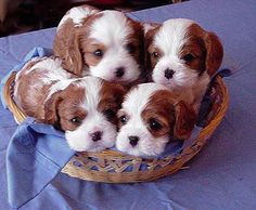 Aren't these 4 just the cutest you've ever seen??? Newbies..... cavalier king charles ~ re-pinned by doggiechecks.com ~ follow us on our new facebook page at https://www.facebook.com/pages/Doggiecheckscom/613106538766880