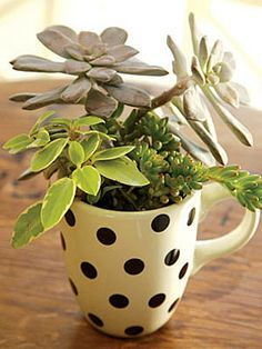 A dash of dirt and a handful of succulents is all you need to create this spot of tea. Using a ceramic drill bit, drill a small hole in the bottom of a polka-dot mug (this can also be done at a hardware store), add a layer of small pebbles to allow for drainage, then fill with potting soil. Select three to four succulents; mix greens and reds for extra color.