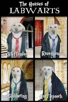 Funny Labrador Retriever dressed up in a harry potter dog costume from Labwarts. Halloween costume ideas for dogs. #barkinglaughs #dogs #labs #harrypotter #funny #humor #DogCostumesGreatDanes