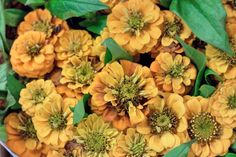 Yellow/ Orange Zinnia 'lilliput Golden' at New Covent Garden Flower Market - July 2014