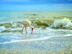 A white ibis on the shore of Sanibel Island Florida