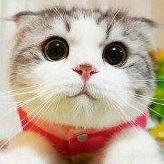 Q.What do meaorrr get if yarr cross ay tiger with a sheep?   A stripey sweater!     #cat #neko #猫 #猫動画#Munchkin#Munchkincat #ilovemycat #petstagram #instacat#catsconnect #catvideo #cats #instagramcats #fluffy #meow#meowbox #adorable #worldcatsjournal #catstagram#catsofinstagram