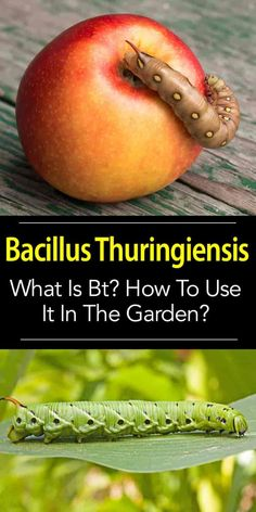 Bacillus Thuringiensis (Bt) is a very safe and very effective, all-natural biological control for caterpillar problems without harming your friendly garden.