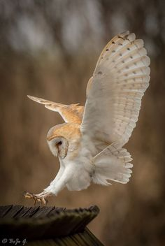 Barn Owl (Tyto alba) - almost everywhere in the world except polar and desert regions, Asia north of the Himalayas, most of Indonesia, and some Pacific islands