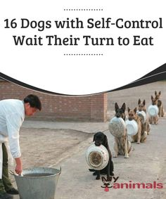 16 Dogs Wait Their Turn to Eat  How far can a dog be educated? They say that obedience and perseverance do not have limits. Today we will tell you a story that has become viral on social media. It's about 16 well-trained dogs that are capable of restraining their hunger by obeying and demonstrating self-control.