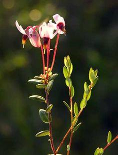 Vaccinium oxycoccos in full bloom. Karpalo kukkii.