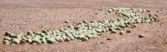 Cocomeri e meloni, abbandonati al pascolo per le pecore - Nikon D300 + Tamron 160/600 f/5.6 #guidofrilli