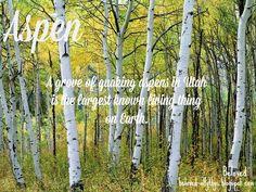 Autumn in the United States Photos - National Geographic Aspen Trees, Colorado Aspen Trees, Birch Trees, Grey Skies, Autumn Trees, Rocky Mountains, Wyoming, National Geographic, Cool Pictures, Scenery