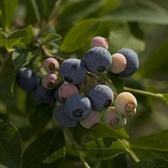 Container Gardening: Growing Blueberries On Your Porch    Southern living suggests  going to a nursery and ask for a Rabbiteye blueberry bush (Good varieties are: Delite or Tifblue). Make sure to find one that is already in bloom in spring or bearing fruit if you start this project in summer.