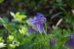 Bed Sheet in the Kitchen: Columbine