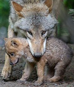 At Zoo Zurich in Switzerland, a Mongolian wolf pup born on April 25 is seen getting ready to be picked up by its mother. The small female is said to have an independent streak, but will soon adjust to living with the rest of the pack.
