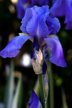 Blue-iris maybe to bring in a pop of the deeper blue of the china
