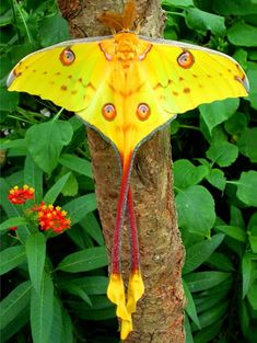 Another drop dead gorgeous moth. Madagascan Moon Moth Argema mittrei. Also known as the Comet Moth.