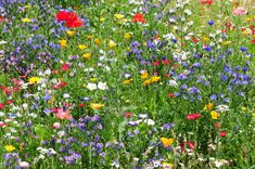 To give a garden more naturalness, you can use a meadow instead of Rase … - Home And Garden Meadow Garden, Lawn And Garden, Home And Garden, Hydrangea Seeds, Hydrangea Care, Garden Drawing, Garden Art, Meadow Flowers, Wild Flowers