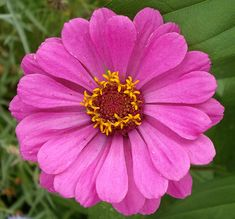I love Zinnia. They come in all colors and sizes. I plant in my veggie garden and everywhere else in my cottage garden.