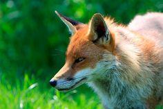 Soñar con un zorro se relaciona con la inteligencia y astucia que estos animales poseen, cualidades que le permiten sobrevivir en entornos desfavorables. Otra de las cualidades es el ingenio… Fox Facts, Roman, Fox Images, Rabbit Run, Pet Fox, Cat Breeds, Book Activities, Belle Photo, Predator