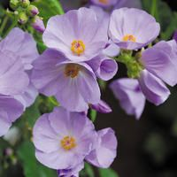 Abutilon x suntense. Common name: Indian Mallow.   See web page for more info on plant, and how to buy seeds.    ♡ SUCH A BEAUTIFUL FLOWER!!! FELL IN LOVE WITH THEM A LONG TIME AGO! ♥A