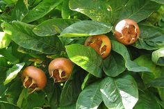 Details about showy medlar, Mespilus germanica, tree seeds (edible, autumn color, hardy) Low Calorie Smoothies, Fruit Smoothies, Backyard Vegetable Gardens, Vegetable Garden Design, Gardening Zones, Tree Seeds, Proper Nutrition, Eating Raw, Small Trees