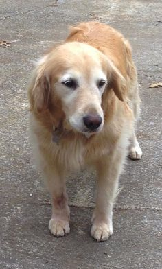 This is Goldei - 8 yrs. She was an owner surrender due to a move. She is spayed, current on vaccinations, potty trained, good with kids. She is good with dogs but prefers to be the only dog in the house. Adopt a Golden Knoxville, TN. - http://www.adoptagoldenknoxville.org/available_dogs_detail.asp?id=671&frame=2