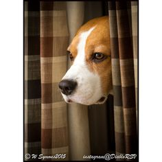 Louie the Beagle playing peekaboo #Beagle