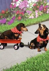 """Musical dachshund friendship card, featuring the singing dachshund, Lucy Lou. Inside message: """"You're my friend, and my tail is a' wagon! Musical Cards, Black And Tan Dachshund, Friendship Cards, Weiner Dogs, My Friend, Musicals, Singing, Greeting Cards, Hilarious"""