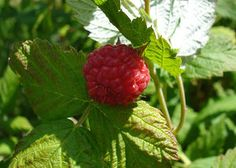 How to Grow Raspberry Bushes, also check this site for amazing facts of life, http://www.ninaohmanarts.com