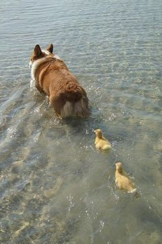 Ducklings that follow a dog