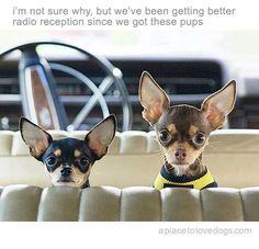 I LOVE Chihuahuas!