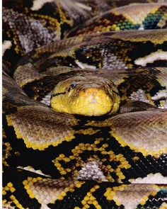 Reticulated Python Reticulated Python, Giant Snake, The Pretenders, Beautiful Snakes, List Of Animals, Power Animal, Reptiles And Amphibians, Wild Things, Beautiful Creatures