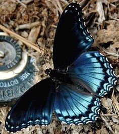 Red-Spotted Purple (Nymphalidae)  #blue #butterfly