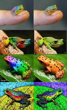 Fakes - The first three sets show fake images on the left and the original images on the right. The images on the right, of these three sets,  are real frogs....The last set of images are Paintings(Same image mirrored with different coloring.). It is not a real frog.