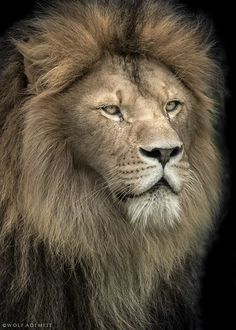 ~~Lion portrait by Wolf Ademeit~~