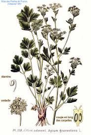 Selleri - apium graveolens - Edible leaves + stalks
