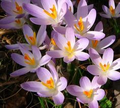 Saffron is a fall flowering crocus. Besides being one of the most expensive spices in the world, they are also beautiful flowers