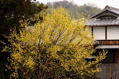 サンシュユ:朝鮮半島原産の落葉性樹木。6m
