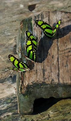 myosotis92:  orchidaorchid:  Buterflies by bascuta_bleu / blue_hat  @♡ ✦࿐ ❀