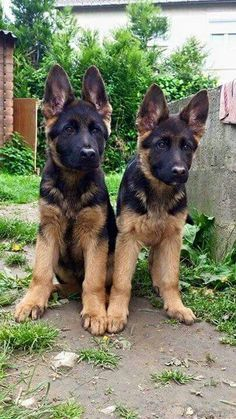 GSD Puppies More