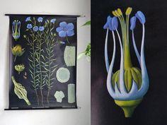 Pull-down Diagramm Vintage Blue Leinsamen Flachs Blume Deutschschule Diagramm Jung-Koch-Quentell Blumen Poster Refr:779