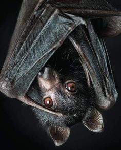 Bat Animal, Amor Animal, Mundo Animal, Animals And Pets, Funny Animals, Cute Animals, Beautiful Creatures, Animals Beautiful, Regard Animal