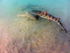 #Sharks #LeopardSharks #LaJolla