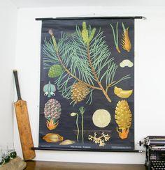Vintage Botanical Pine Tree Chart