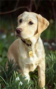 Mind Blowing Facts About Labrador Retrievers And Ideas. Amazing Facts About Labrador Retrievers And Ideas. Beautiful Dogs, Animals Beautiful, Cute Animals, Fluffy Animals, Cute Puppies, Cute Dogs, Dogs And Puppies, Corgi Puppies, Terrier Puppies